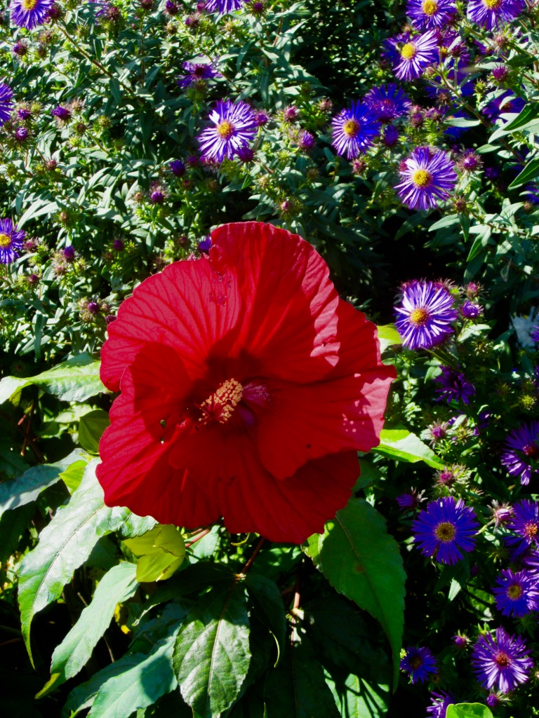 The Joy Of City Hibiscus Flowers Show Your Shells
